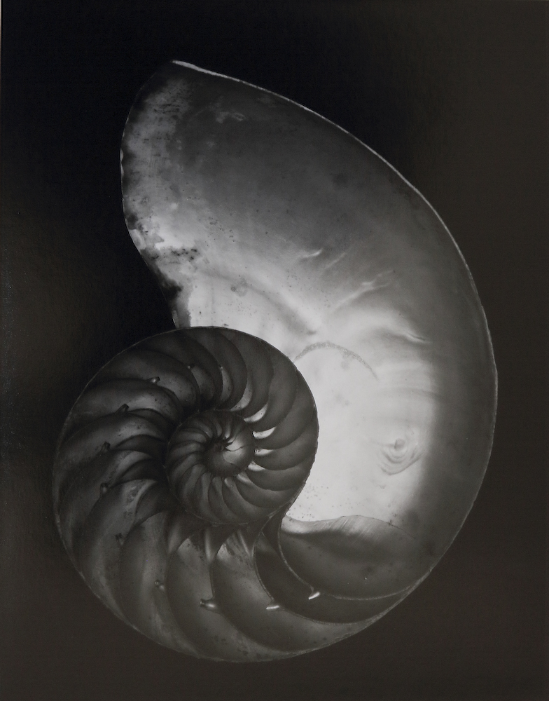 Shell, 1927 by Edward Weston